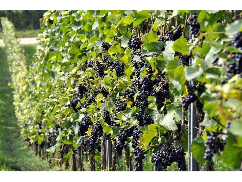 THE GOVERNMENT APPROVES THE REGULATION EXTENDING THE VALIDITY OF AUTHORISATIONS FOR VINEYARD PLANTING.
